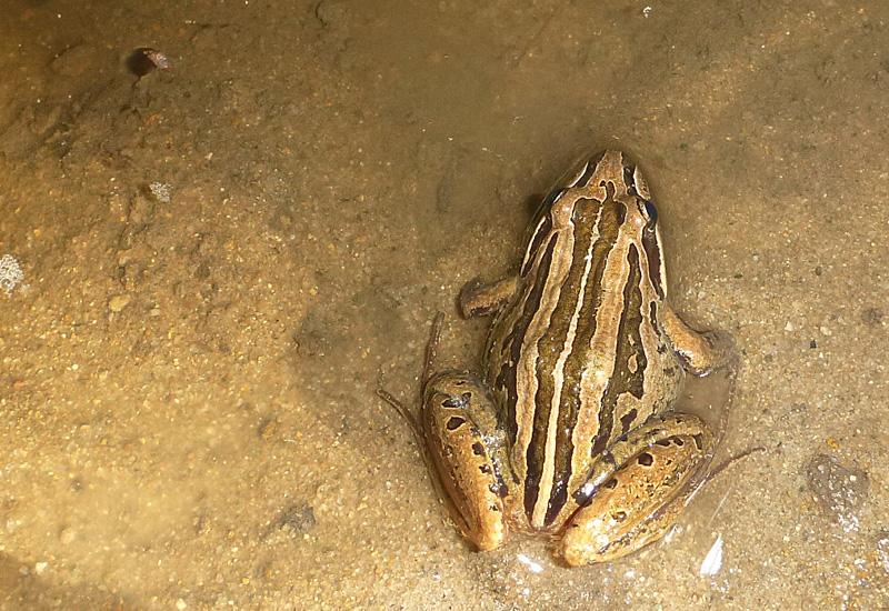 Duke frog